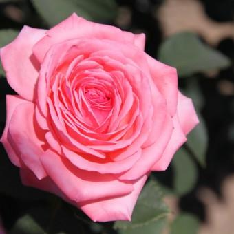 Canada Blooms Rose