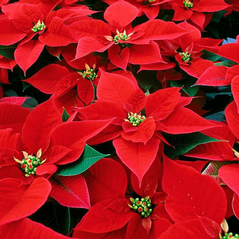 Taking Care Of Your Poinsettia Canada Blooms