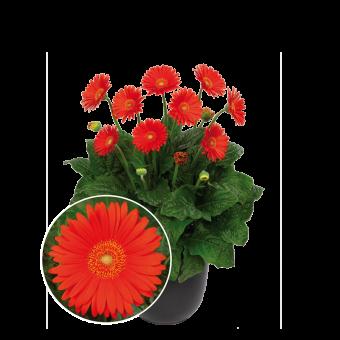 Garvinea Sweet Glow - Florist Holland