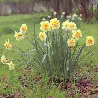 Tahiti Daffodil - The Gardener Magazine