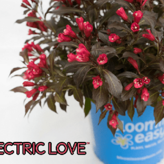 Electric Love Weigela from VanBelle