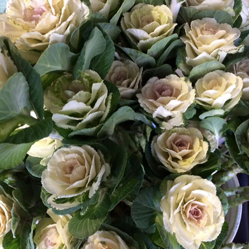711a7344ebc1 Cabbage Roses