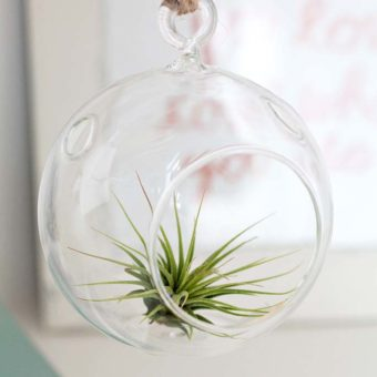 Air Plant in container