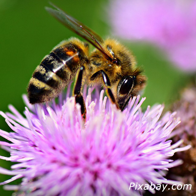 Bee Pic from Pixabay.com