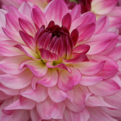 Sincerity Dahlia by Syngenta