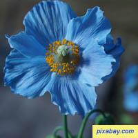 Poppy - Meconpsis