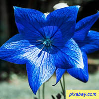 Bell Flower - Campanula