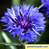 Bachelor Button or Cornflower
