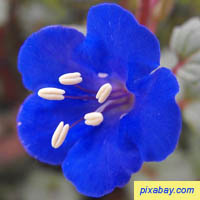 Desert Bluebell - Phacelia Campanularia