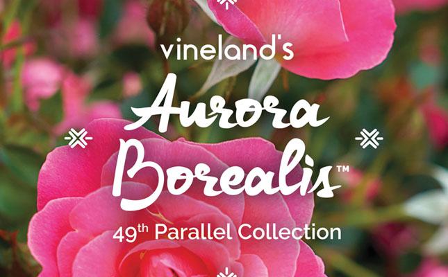 Aurora Borealis Rose from Vineland