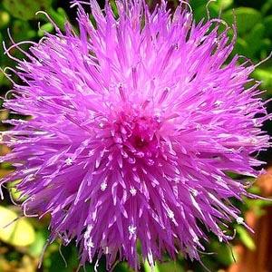 Malta Flower